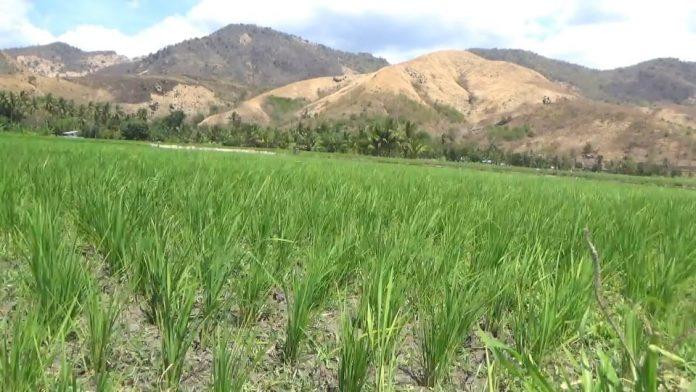 Magepanda Dilanda Kekeringan, Puluhan Hektare Padi Gagal Panen