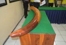 Polres Sikka Ungkap Kasus Pencurian Gading, 4 Dibekuk, 1 DPO