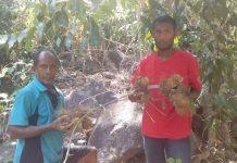 Dampak Gagal Panen, Warga Done Mulai Konsumsi Ubi Hutan Beracun