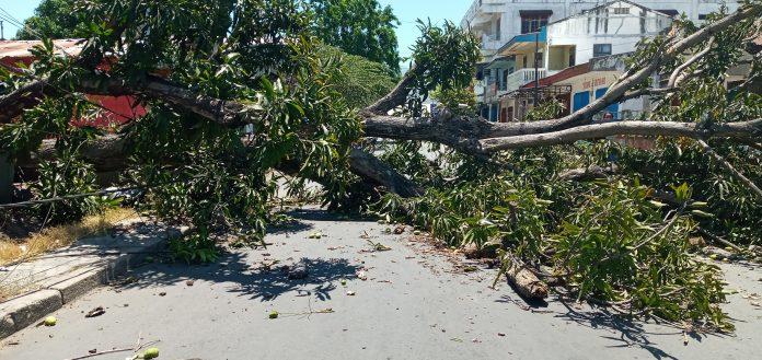 Angin Kencang, Pohon Mangga Tumbang, Jaringan Internet dan Listrik Terganggu